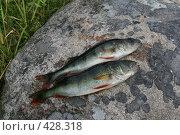 Купить «Карелия. Заонежье. Кузаранда. Два окуня на камне», фото № 428318, снято 19 июля 2008 г. (c) Сергей Костин / Фотобанк Лори