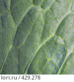 Купить «Поверхность листа растения», фото № 429278, снято 23 августа 2008 г. (c) pzAxe / Фотобанк Лори