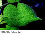 Зеленые листья. Стоковое фото, фотограф Малышев Виктор / Фотобанк Лори