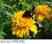 Купить «Шмель», фото № 430542, снято 29 августа 2008 г. (c) Олег Таранухин / Фотобанк Лори