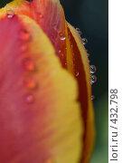 Купить «Капли дождя на тюльпане», фото № 432798, снято 3 мая 2008 г. (c) Алексей Бок / Фотобанк Лори