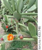 Цветущий кактус. Стоковое фото, фотограф Лариса Дамьян / Фотобанк Лори
