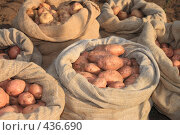Купить «Свежая картошка в мешках», фото № 436690, снято 1 сентября 2008 г. (c) Михаил Николаев / Фотобанк Лори