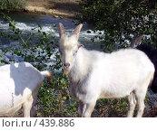 Купить «Коза», фото № 439886, снято 9 сентября 2007 г. (c) Евгений Мачнев / Фотобанк Лори