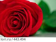 Купить «Красная роза», фото № 443494, снято 6 сентября 2008 г. (c) Виктория Кириллова / Фотобанк Лори