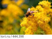 Пчела на желтом цветке. Стоковое фото, фотограф Сергей Русаков / Фотобанк Лори