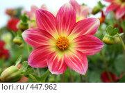 Купить «Цветы георгины», фото № 447962, снято 5 сентября 2008 г. (c) Людмила Пашкевич / Фотобанк Лори