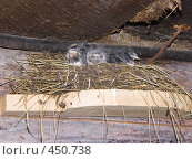 Купить «Ласточата в гнезде», фото № 450738, снято 18 июля 2008 г. (c) Ирина Солошенко / Фотобанк Лори