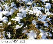Купить «Снег на ветках кипариса», фото № 451262, снято 12 января 2008 г. (c) Ольга Завгородняя / Фотобанк Лори