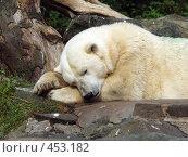 Купить «Спящий белый медведь», фото № 453182, снято 28 августа 2008 г. (c) Юлия Бобровских / Фотобанк Лори