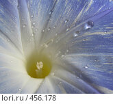 Купить «Вьюнок. Макро», фото № 456178, снято 26 июля 2008 г. (c) Заноза-Ру / Фотобанк Лори
