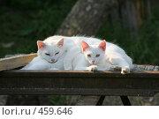 Купить «Кошки», фото № 459646, снято 7 сентября 2008 г. (c) Игорь Веснинов / Фотобанк Лори