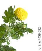 Купить «Желтая круглая хризантема, изолированное изображение», фото № 459682, снято 15 сентября 2008 г. (c) Tamara Kulikova / Фотобанк Лори