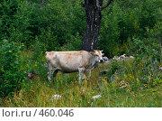 Купить «Корова», фото № 460046, снято 13 августа 2008 г. (c) Иван Мельниченко / Фотобанк Лори