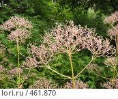 Купить «Валериана лекарственная (Valeriana officinalis)», фото № 461870, снято 10 августа 2008 г. (c) Заноза-Ру / Фотобанк Лори