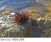 Купить «Молодой морской еж на камне», фото № 464394, снято 14 сентября 2008 г. (c) Севостьянова Татьяна / Фотобанк Лори