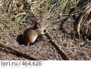 Купить «Полевая мышь», фото № 464626, снято 6 сентября 2008 г. (c) Александр Башкатов / Фотобанк Лори