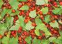 Ягоды шиповника с листьями берёзы, фото № 464658, снято 17 сентября 2008 г. (c) Александр Лукьянов / Фотобанк Лори