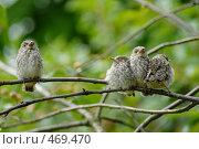 Купить «Птенцы на ветке», фото № 469470, снято 28 июня 2008 г. (c) Андрей Лабутин / Фотобанк Лори