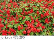 Красные цветы на клумбе. Стоковое фото, фотограф Сергей Усс / Фотобанк Лори