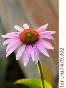 Купить «Эхинацея цветок», фото № 479902, снято 26 июля 2008 г. (c) Розе Андрей / Фотобанк Лори