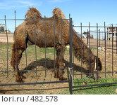 Усталый верблюд. Стоковое фото, фотограф Елена Багдаева / Фотобанк Лори