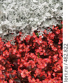 Купить «Цинерария приморская и бегония вечноцветущая», фото № 482822, снято 31 августа 2006 г. (c) Ирина Борсученко / Фотобанк Лори