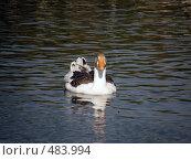 Утка на воде. Стоковое фото, фотограф Фиронов Максим / Фотобанк Лори