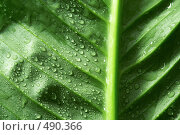 Купить «Капли воды на листе», фото № 490366, снято 12 июля 2008 г. (c) Dzianis Miraniuk / Фотобанк Лори