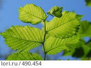 Купить «Зеленые листья на фоне синего неба», фото № 490454, снято 13 июля 2007 г. (c) Игорь Гришаев / Фотобанк Лори