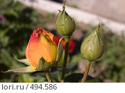 Купить «Бутоны розы», фото № 494586, снято 19 августа 2008 г. (c) Константин Чевелёв / Фотобанк Лори