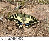 Купить «Бабочка парусник», фото № 494650, снято 18 июля 2008 г. (c) Константин Чевелёв / Фотобанк Лори