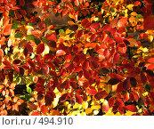 Купить «Осенние листья», фото № 494910, снято 5 октября 2008 г. (c) Хименков Николай / Фотобанк Лори