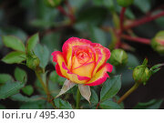 Маленькая роза. Стоковое фото, фотограф Tabashnikov Alexei / Фотобанк Лори