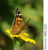 Купить «Бабочка на цветке», фото № 496222, снято 1 сентября 2007 г. (c) Карелин Д.А. / Фотобанк Лори