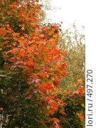 Купить «Клен красно-желтый», фото № 497270, снято 1 октября 2008 г. (c) Александр Перченок / Фотобанк Лори