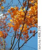 Листва клена. Стоковое фото, фотограф Римма Радшун / Фотобанк Лори