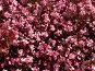 Цветочный ковер, из розовых цветов, фото № 499226, снято 18 сентября 2006 г. (c) A Челмодеев / Фотобанк Лори