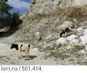 Купить «Коровы пасутся на меловых породах», фото № 501414, снято 3 сентября 2006 г. (c) Александр Башкатов / Фотобанк Лори