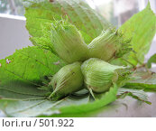 Купить «Гроздь лесных орехов», фото № 501922, снято 22 августа 2008 г. (c) Иван / Фотобанк Лори