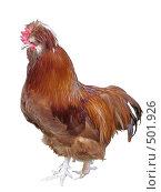 Купить «Рыжий кур», фото № 501926, снято 23 августа 2008 г. (c) Иван / Фотобанк Лори