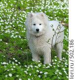 Купить «Самоедская собака в весеннем лесу среди подснежников», фото № 502186, снято 1 мая 2008 г. (c) Абрамова Ксения / Фотобанк Лори