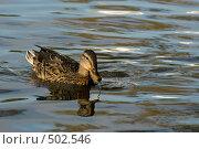 Купить «Уточка», фото № 502546, снято 3 октября 2008 г. (c) Антон Голубков / Фотобанк Лори