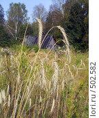 Купить «Колосья ржи», фото № 502582, снято 7 сентября 2008 г. (c) УНА / Фотобанк Лори
