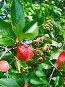 Незрелые  ягоды черноплодной рябины, фото № 503010, снято 23 мая 2017 г. (c) Вадим Кондратенков / Фотобанк Лори