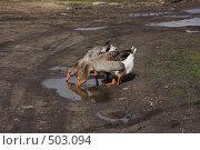 Купить «Три гуся», фото № 503094, снято 9 мая 2008 г. (c) Николай Козлов / Фотобанк Лори