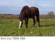 Купить «Конь на пастбище», фото № 504166, снято 22 сентября 2018 г. (c) Лошкарев Антон / Фотобанк Лори
