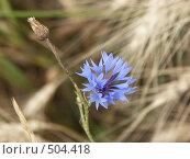 Купить «Василек синий в колосьях пшеницы», фото № 504418, снято 14 августа 2004 г. (c) Сергей Бехтерев / Фотобанк Лори