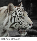 Купить «Белый тигр», фото № 504734, снято 24 сентября 2008 г. (c) Стучалова Наталия / Фотобанк Лори