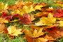 Кленовые листья, фото № 505230, снято 30 сентября 2008 г. (c) Литова Наталья / Фотобанк Лори